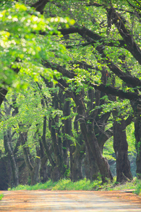 真原桜並木の新緑の写真素材 [FYI02088691]
