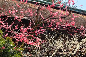 北野天満宮 梅の花の写真素材 [FYI02088750]