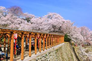 津山城・鶴山公園 藤棚とサクラの写真素材 [FYI02088763]