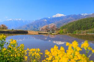 富士見高原 カラシナと桜に南アルプス・甲斐駒ヶ岳の写真素材 [FYI02088784]