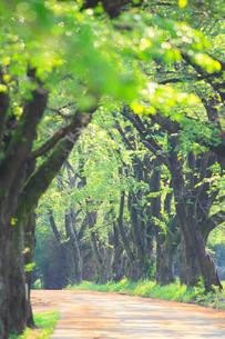 真原桜並木の新緑の写真素材 [FYI02088787]