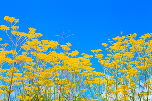 開田高原 オミナエシの花と青空の写真素材 [FYI02088836]