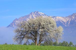 野辺山高原 草原にヤマナシの木と八ヶ岳に雲海の写真素材 [FYI02088877]