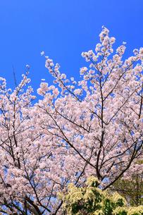 青空とサクラ の写真素材 [FYI02088897]
