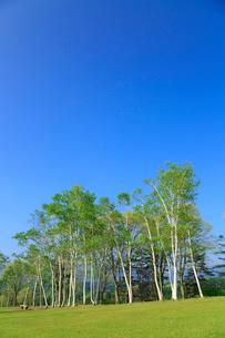 新緑の蒜山高原 シラカバの木立の写真素材 [FYI02088926]