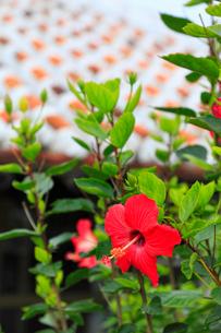 沖縄竹富島 赤瓦屋根とハイビスカスの花の写真素材 [FYI02089024]