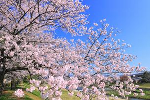 賀茂川とサクラの写真素材 [FYI02089033]