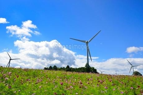 コスモスの花畑に風車の写真素材 [FYI02089038]