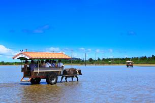 沖縄西表島 由布島の水牛車の写真素材 [FYI02089060]