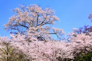 津山城・鶴山公園のサクラの写真素材 [FYI02089116]