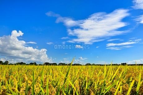 実りの稲田と青空の写真素材 [FYI02089134]