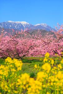 新府桃源郷 桃の花と菜の花に南アルプスの写真素材 [FYI02089190]