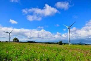 コスモスの花畑に風車の写真素材 [FYI02089216]