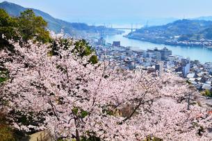 千光寺公園のサクラ 尾道水道と尾道市街の写真素材 [FYI02089270]