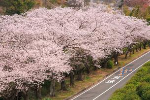 サクラ並木と道路の写真素材 [FYI02089309]