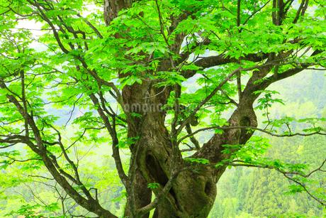 脇谷 トチノキと新緑の写真素材 [FYI02089352]