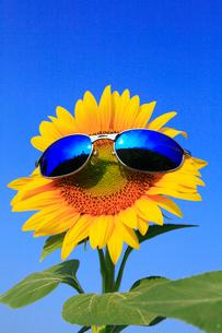 ヒマワリの花にサングラスの写真素材 [FYI02089391]