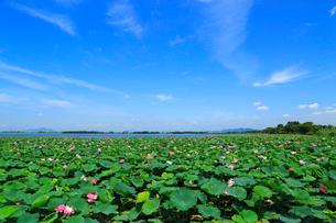 琵琶湖烏丸半島 ハスの群生の写真素材 [FYI02089420]