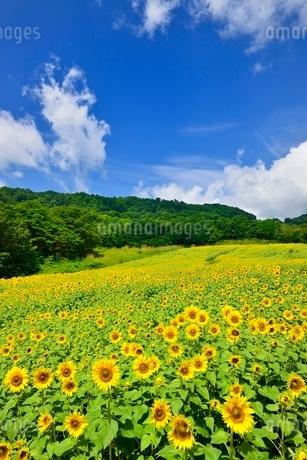 ヒマワリの花畑と青空に雲の写真素材 [FYI02089458]
