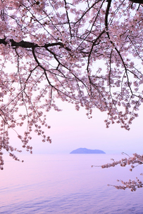 海津大崎のサクラ 朝焼けの琵琶湖と竹生島の写真素材 [FYI02089468]