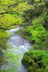 山中温泉 新緑の鶴仙峡の写真素材 [FYI02089512]