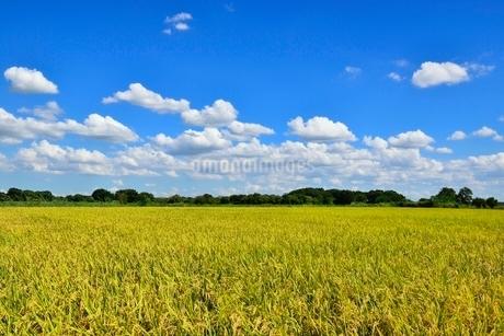 実りの稲田と青空の写真素材 [FYI02089579]