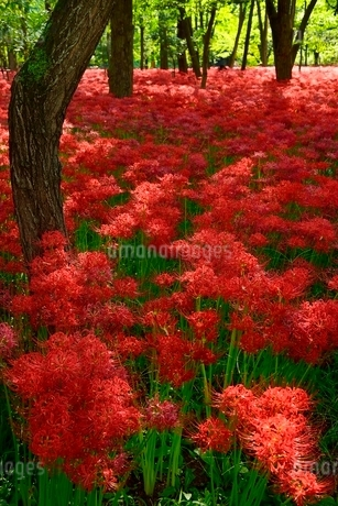 高麗川・巾着田 ヒガンバナの群生地の写真素材 [FYI02089595]