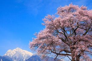 桜と南アルプス・甲斐駒ヶ岳の写真素材 [FYI02089666]
