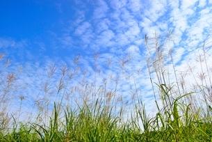 ススキとうろこ雲に青空の写真素材 [FYI02089685]