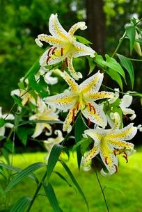 ヤマユリの花の写真素材 [FYI02089723]