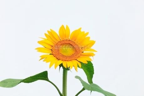ヒマワリの花の写真素材 [FYI02089768]