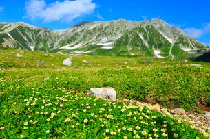 立山黒部・室堂平 立山とチングルマの群生の写真素材 [FYI02089825]