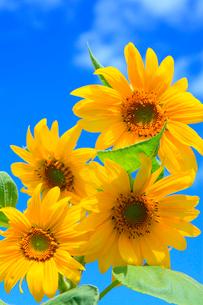 ヒマワリの花と青空の写真素材 [FYI02089880]