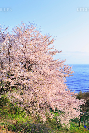 丹後松島のサクラと日本海の写真素材 [FYI02089943]