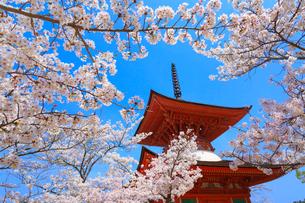 厳島神社 サクラと多宝塔の写真素材 [FYI02090002]