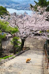 千光寺のサクラ 文学の小道と猫の写真素材 [FYI02090034]