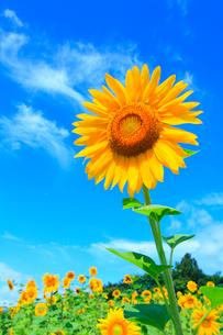 ヒマワリの花と青空の写真素材 [FYI02090088]