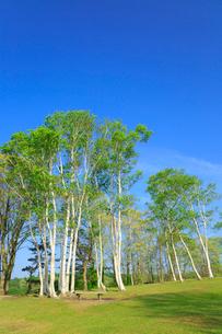 新緑の蒜山高原 シラカバの木立の写真素材 [FYI02090144]