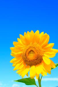 ヒマワリの花と青空の写真素材 [FYI02090164]