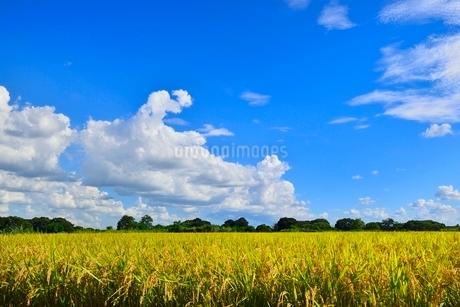 実りの稲田と青空の写真素材 [FYI02090193]