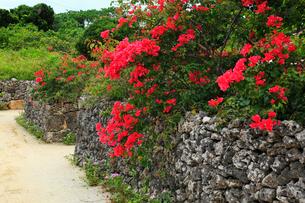 沖縄竹富島 ブーゲンビリアの花の写真素材 [FYI02090219]