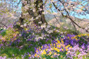 王仁塚の桜 スイセンとムラサキハナナの写真素材 [FYI02090225]