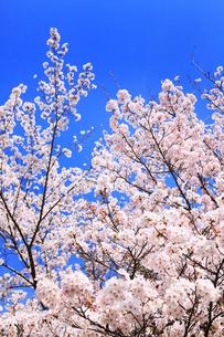 青空とサクラ の写真素材 [FYI02090229]