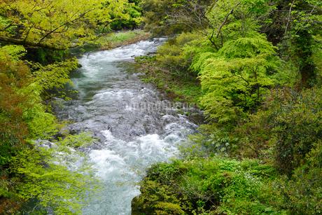 山中温泉 新緑の鶴仙峡の写真素材 [FYI02090237]