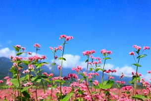 赤ソバの花と青空の写真素材 [FYI02090239]