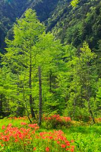 緑の上高地 湿原のツツジの写真素材 [FYI02090257]