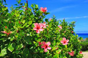 沖縄本島 ハイビスカスの花の写真素材 [FYI02090272]