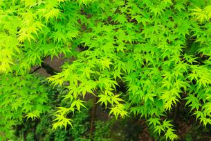 新緑のモミジの写真素材 [FYI02090282]