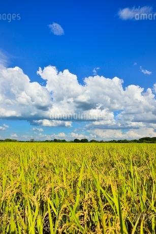 実りの稲田と青空の写真素材 [FYI02090284]