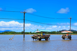 沖縄西表島 由布島の水牛車の写真素材 [FYI02090288]